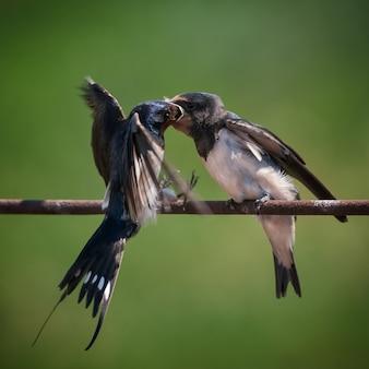 Scheune schluckt hirundo rustikal und füttert ihren nestling, der auf dem draht sitzt
