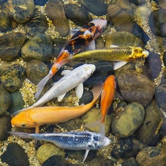 Schicke karpfenfische