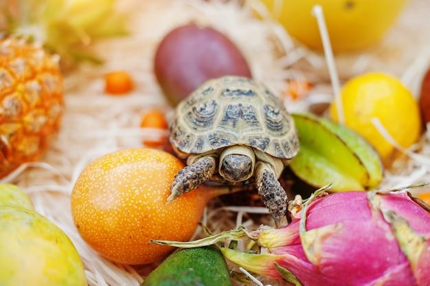 Schildkröte auf frischen früchten.