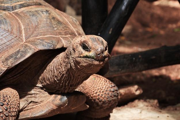 Schildkröte auf gefängnisinsel von sansibar, tansania