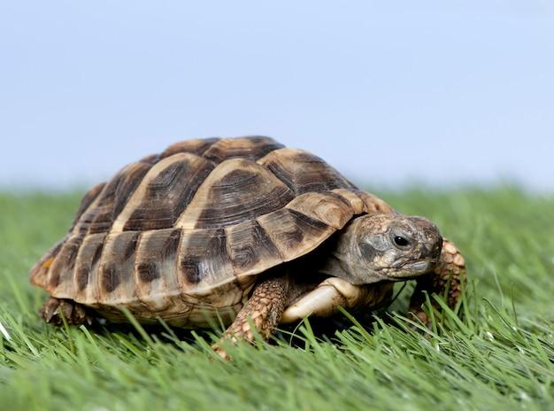 Schildkröte auf gras gegen einen blauen himmel