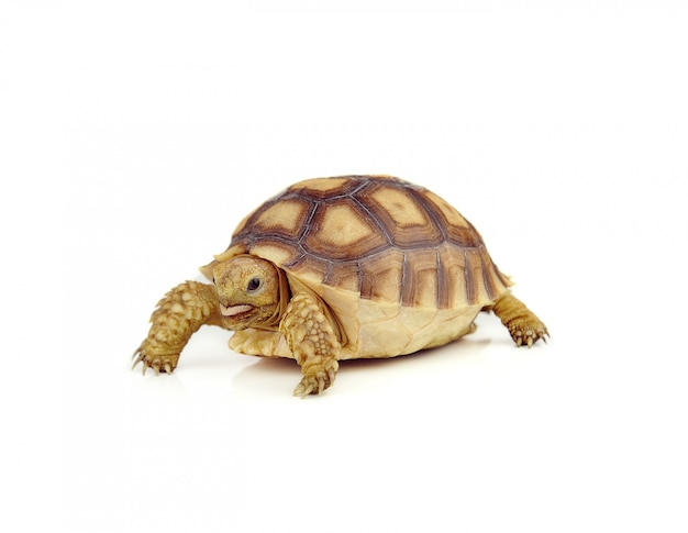 Schildkröte auf über weißem hintergrund