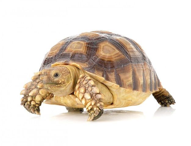 Schildkröte auf weißem raum