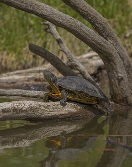 Schildkröte, die auf einem gebrochenen baum im wasser steht