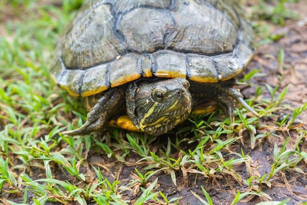 Schildkröte, die auf grassinregenzeit geht.