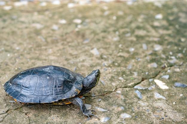 Schildkröte, die auf zementstraße kriecht