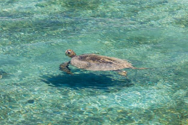 Schildkröte, die in der kristallklaren lagune schwimmt