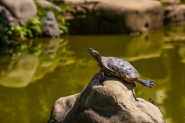 Schildkröte, die sich auf einem baumstamm im sumpf sonnt, der lustige yoga-haltung tut Premium Fotos