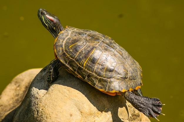 Schildkröte, die sich auf einem baumstamm im sumpf sonnt, der lustige yoga-haltung tut