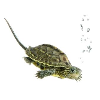 Schildkröte, die vor einem weißen hintergrund schwimmt