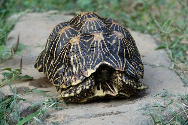Schildkröte in seiner schale