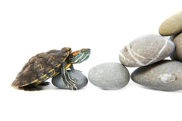 Schildkröte klettert die stufen hinauf. konzept isoliert