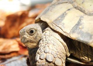 Schildkröte makro