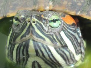 Schildkröte nahaufnahme