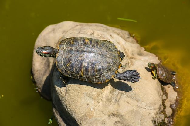 Schildkröte sonnt sich auf einem baumstamm im sumpf und macht lustige yoga-pose