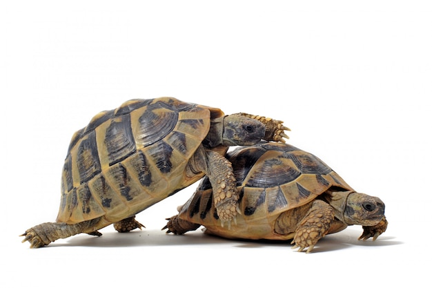 Schildkröten beim sex