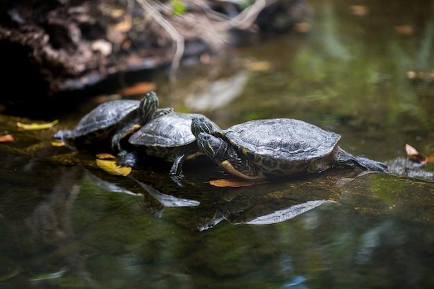 Schildkröten, die am ufer ruhen