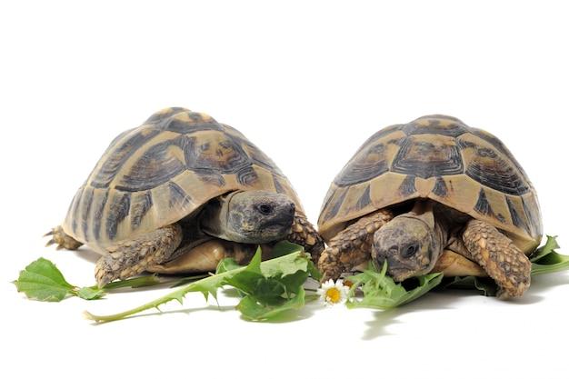 Schildkröten essen