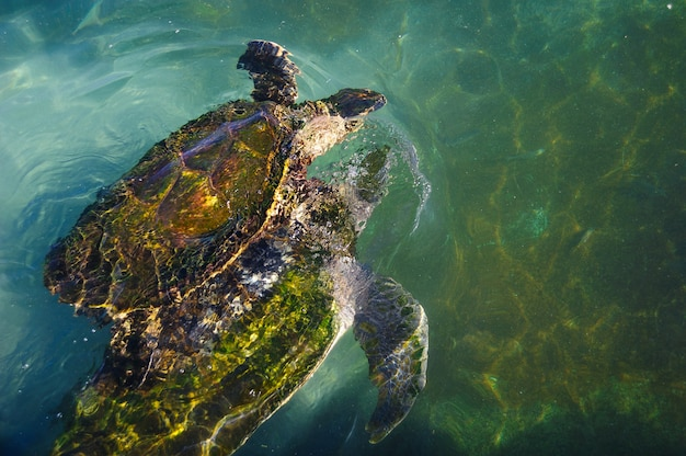 Schildkröten im wasser am roten meer
