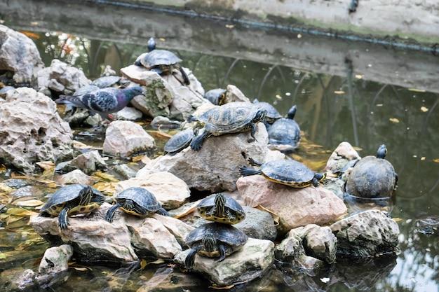 Schildkröten-teich mit vielen schildkröten im park in athen griechenland