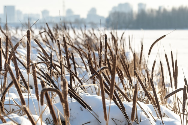 Schilf auf dem see bei starkem frost im winter.