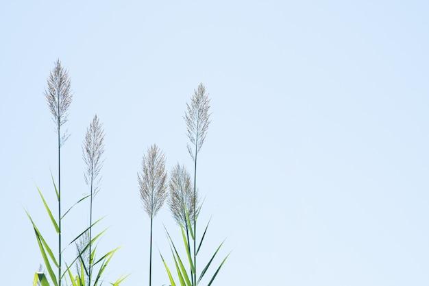 Schilf im hintergrund des blauen himmels