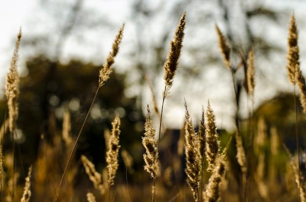 Schilfe, die im wind im gegenlicht des sonnenuntergangs schwingen.
