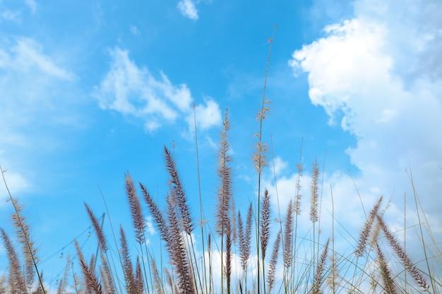 Schilfgrasblume leerer raum und schöner himmel im sommer für hintergrund