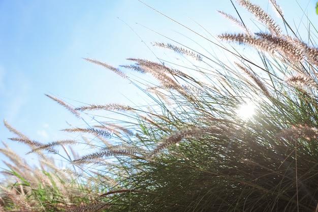 Schilfgrasblumen und schöner himmel mit sonnenschein