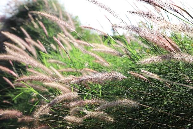 Schilfgrasblumenfeld blüht im garten