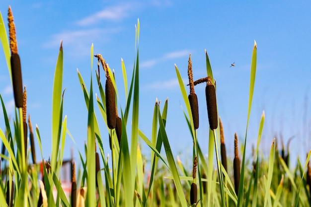 Schilfpflanze am ufer des sees auf einem hintergrund des blauen himmels. rohrkolben nahaufnahme