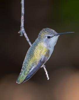 Schillernder weiblicher kolibri thront auf einem hängenden zweig