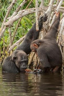 Schimpanse im naturlebensraum schimpanse im kongo