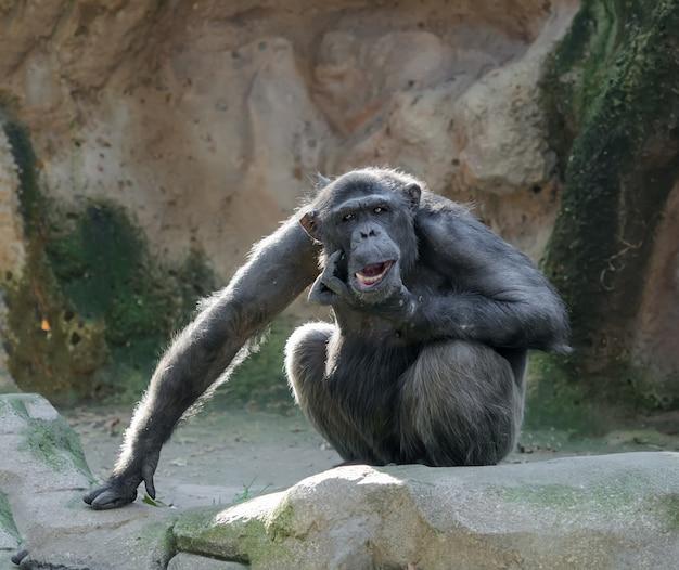 Schimpanse mit dem lustigen gesichtsausdruck, der sein kinn verkratzt