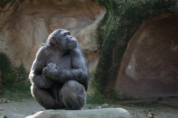 Schimpanse sitzt auf einem felsen mit stolzem und wichtigem blick