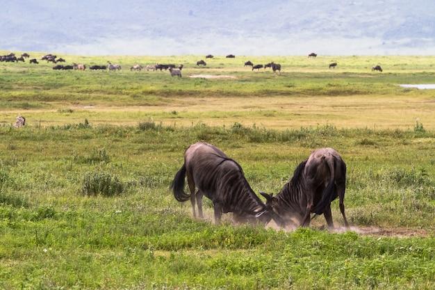 Schlacht von zwei gnuantilopen. im krater von ngorogoro. tansania