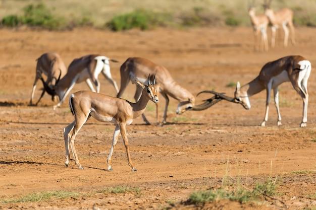 Schlacht von zwei grant gazellen in der savanne von kenia