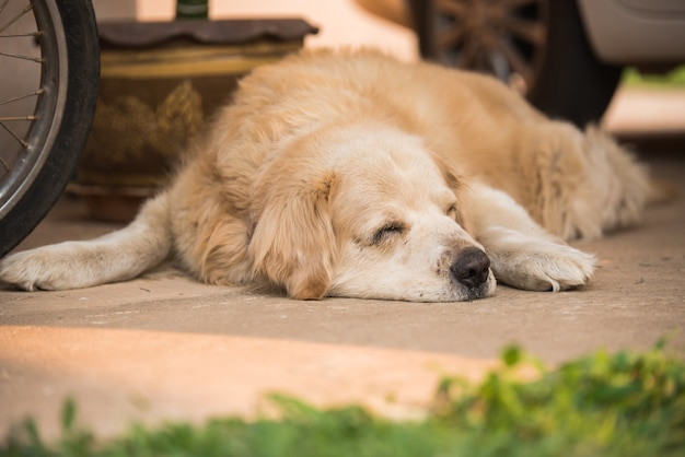 Schläfriger goldener retriever-hund