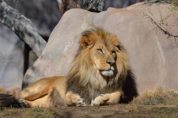 Schläfriger löwe, der im warmen sonnenlicht gegen einen felsen ruht