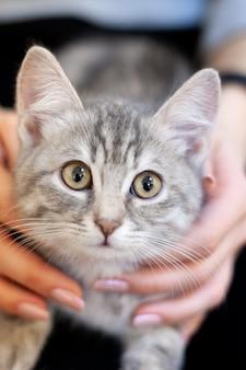 Schläfriges kätzchen in den knien eines mädchens. hauptkätzchen mit einem niedlichen attraktiven gesicht.