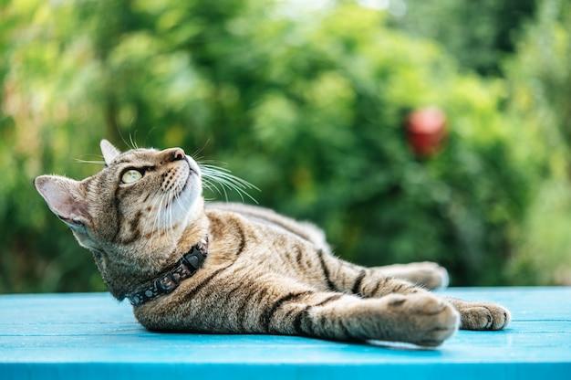 Schlaf der getigerten katze auf einem blauen zementboden und oben schauen