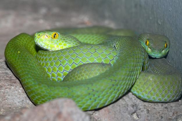 Schlaf der schlange (grüne grubenotter) auf dem felsen bei thailand