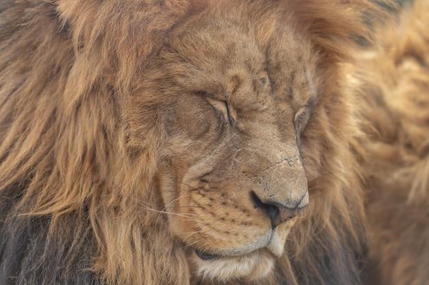 Schlafender männlicher löwe
