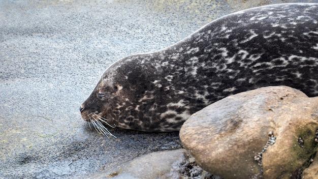 Schlafender seehund an der küste des ozeans