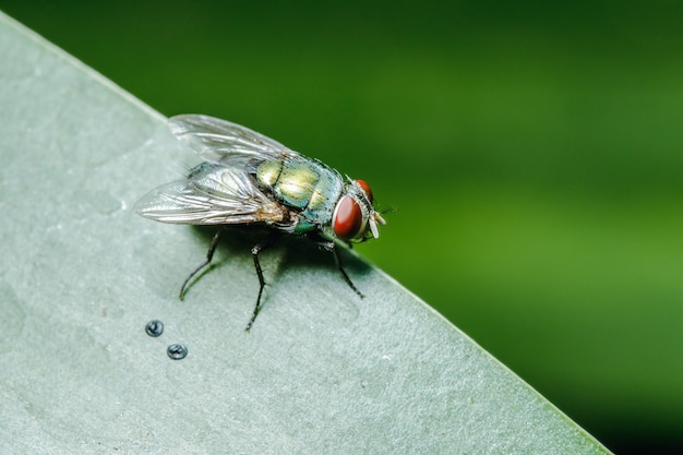 Schlagfliege auf den blättern kann in den gemeinschaften gefunden werden, die abwasser haben.