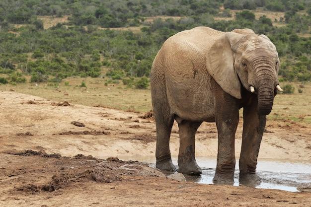 Schlammiger elefant, der in einer wasserpfütze im dschungel herumspielt
