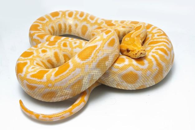 Schlange albino burmesische python isoliert auf weißem hintergrund