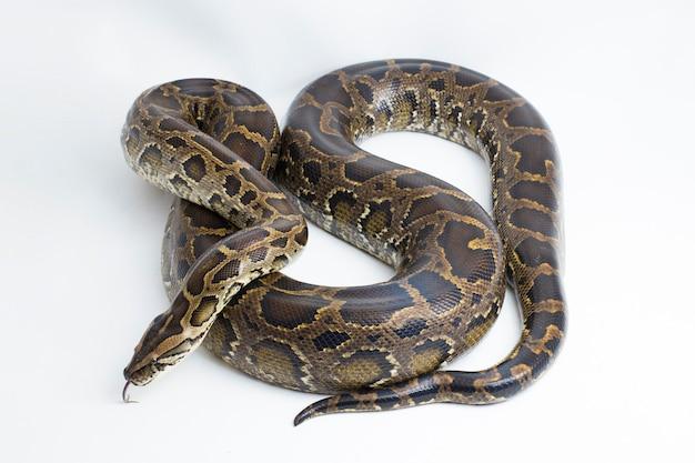 Schlange burmesische python python molurus bivittatus isoliert auf weißem hintergrund