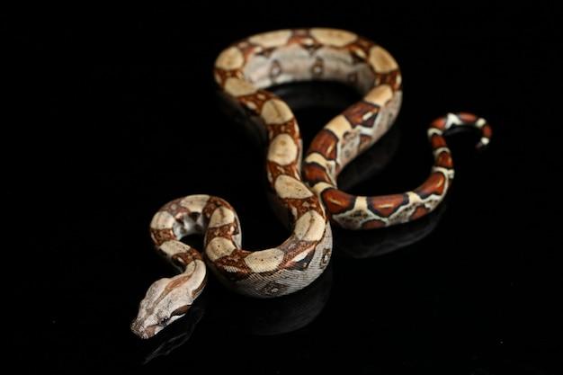 Schlange common boa boa constrictor auf schwarzem tisch