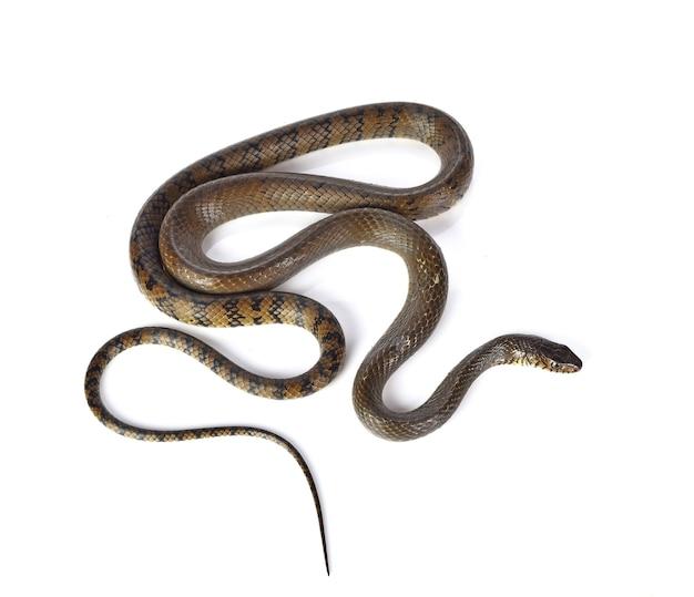 Schlange isoliert auf weiß